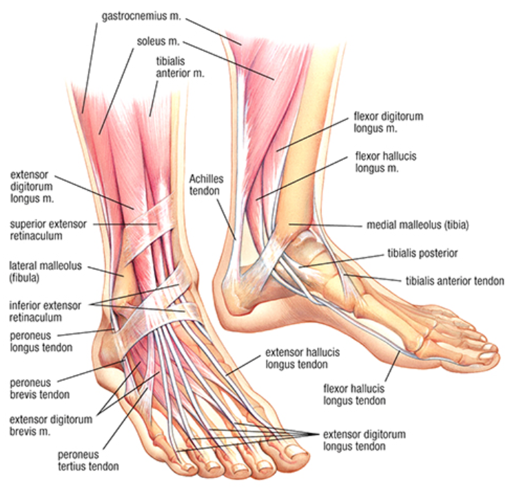 Lower leg anatomy - Challenge Physio